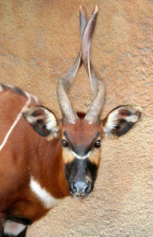Free Antelope Stock Photo - 10720480