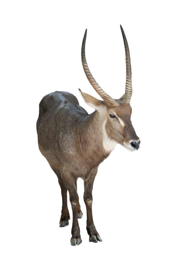 Free Antelope Royalty Free Stock Images - 11071259