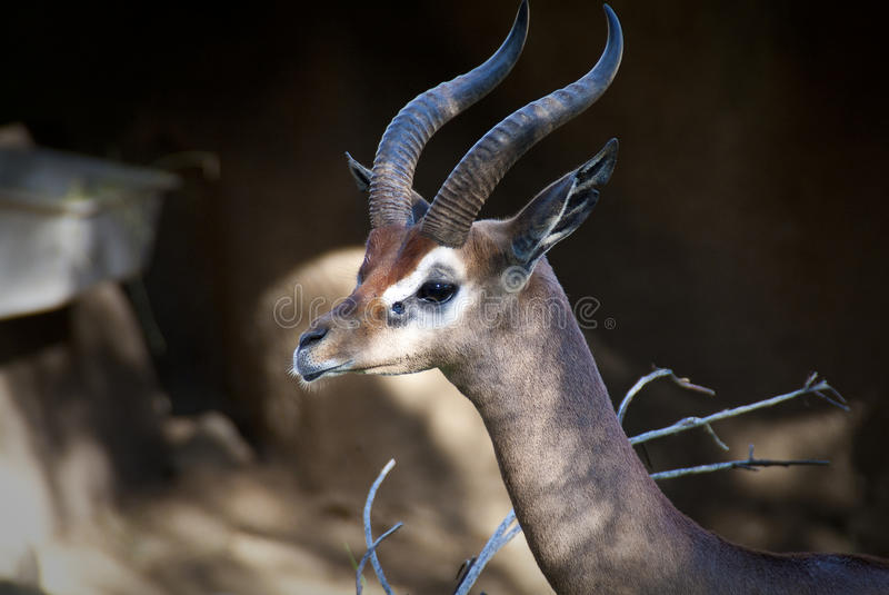 Download Antelope stock image. Image of quiet, antlers, wildlife - 19941857