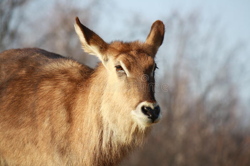 Download Antelope stock image. Image of safari, wildlife, gazelle - 23280817