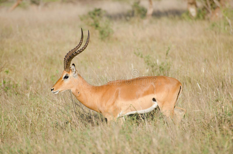 Download Antelope stock image. Image of caring, antelopes, bushes - 24273697