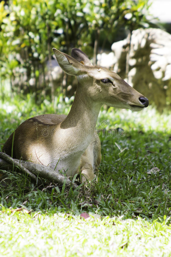 Download Antelope stock image. Image of national, wildlife, prairie - 25877071