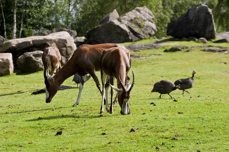 Download Antelope stock image. Image of grass, horn, meadow, grassland - 26852987