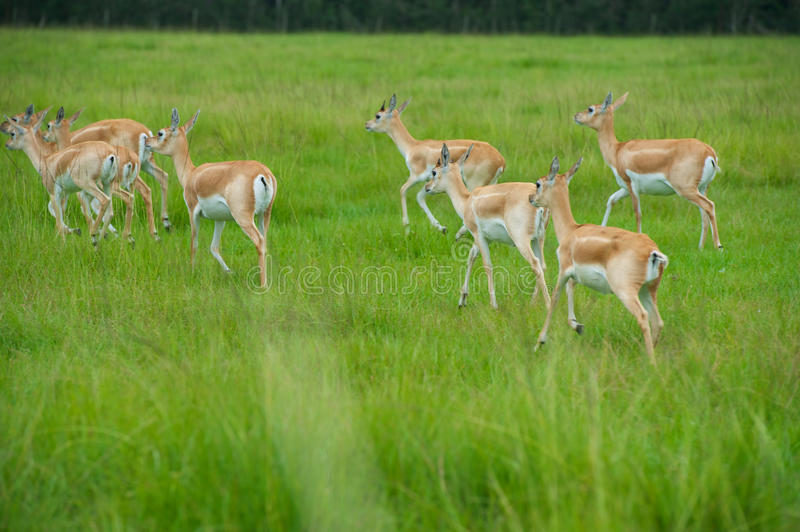 Download Antelope stock image. Image of wildlife, game, country - 27592889