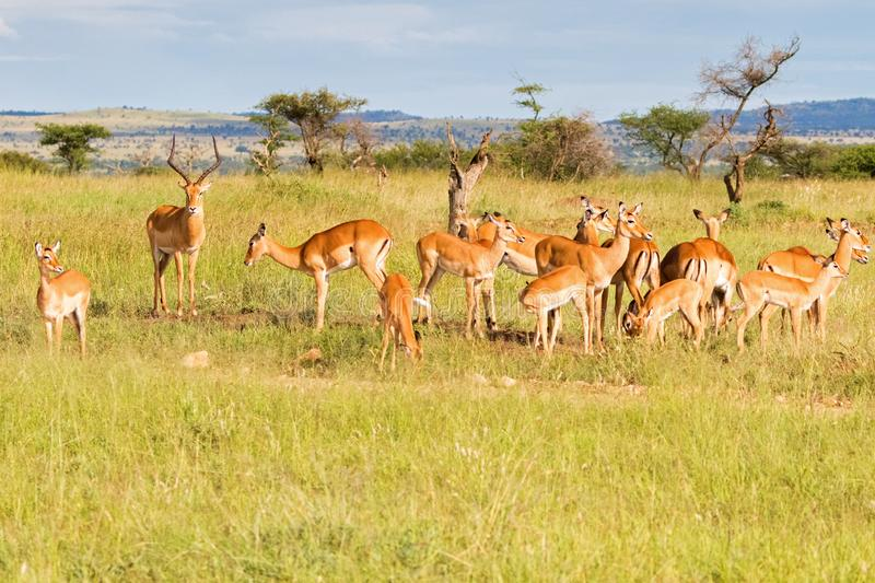 Antelope in Africa, herd of female Impala with one male at Serengeti National Park in Tanzania, Africa royalty free stock photos