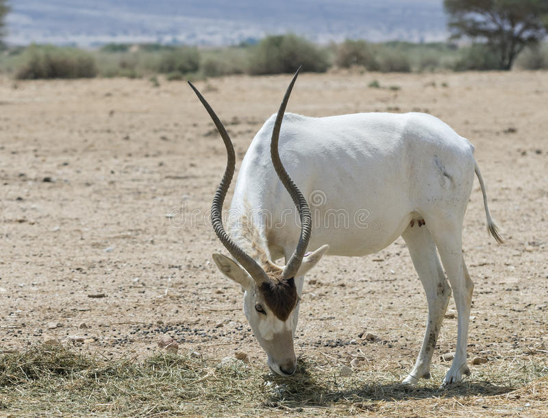 The antelope of the Arabian addax in nature reserve, Israel stock photos
