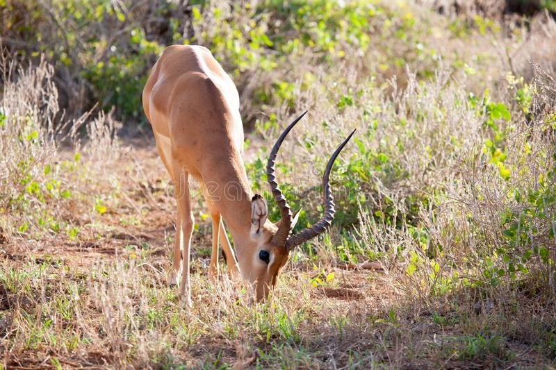 Antelope is eating grass in the scenery of Kenya. Antelope with big horns is eating grass in the scenery of Kenya stock image