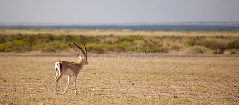 Antelope is walking away, scenery of the Kenyan savannah. Antelope with big horns is walking away, scenery of the Kenyan savannah royalty free stock images