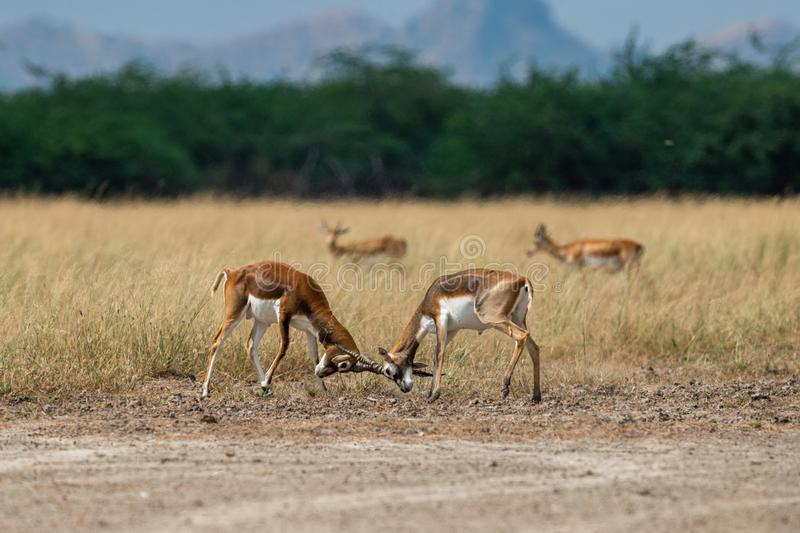 Antelope Blackbucks fighting with horns showing dominance in open grass field and green background scenic landscape and skyline royalty free stock image