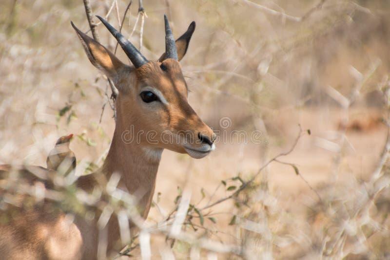 Antelope through bushes. Antelope portrait peeking through thorn bushes stock photo
