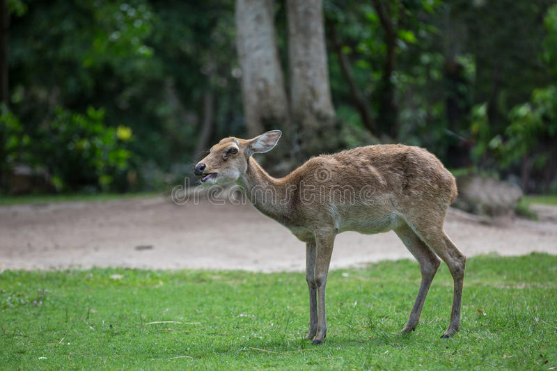 Antelope deer eating on the grass. With green forest in the background stock images