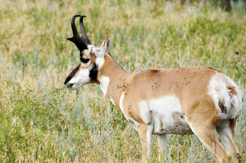 Antelope Eating. An antelope covered in flies eating a green leaf stock image