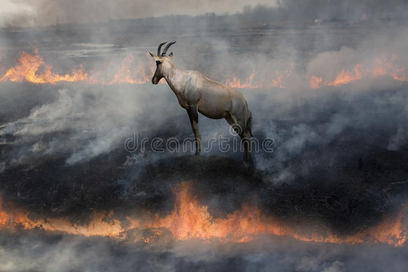 Antelope In fire land. An antelope standing in grassland on fire. She is in between two fires, in a situation between Rock and hard place