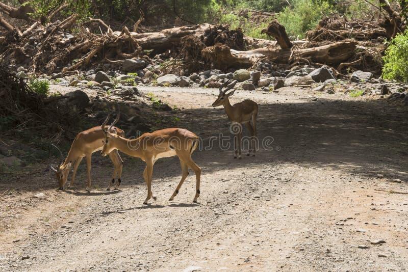 Antelope Impala in Tanzania royalty free stock image