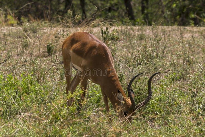 Antelope Impala in Tanzania royalty free stock photography