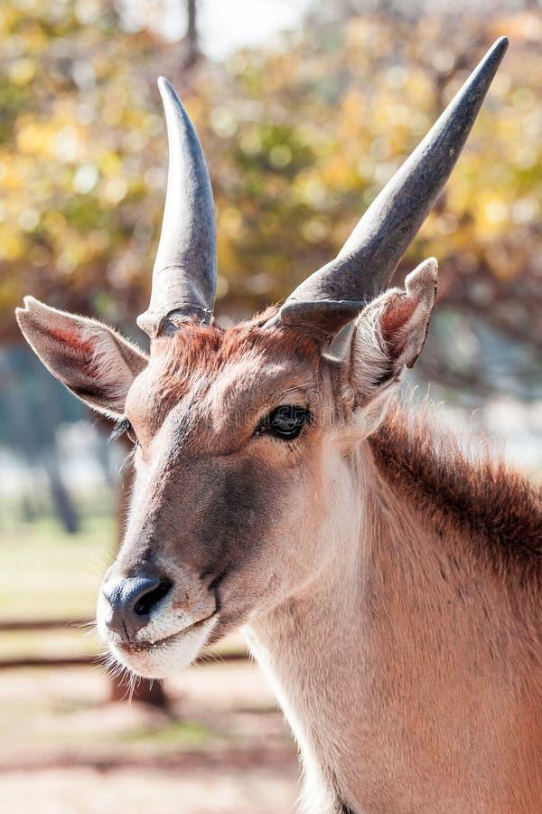 Download Antelope stock photo. Image of animal, israel, large - 33299326