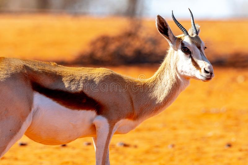 Antelope living in Namibia. Exemple of animals that we can find in Namibia, among them a big diversity of antelopes royalty free stock images