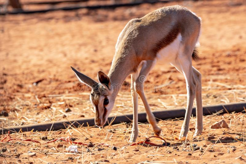Antelope living in Namibia. Exemple of animals that we can find in Namibia, among them a big diversity of antelopes royalty free stock photos