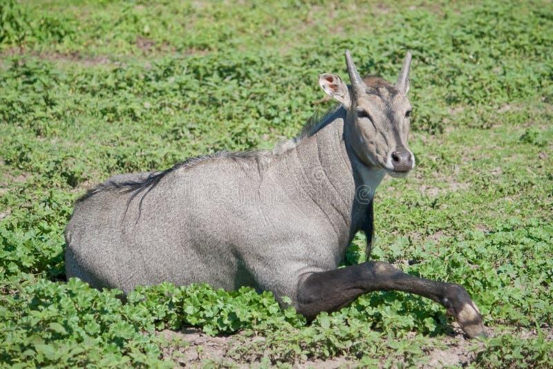 Antelope Nilgai stock photo