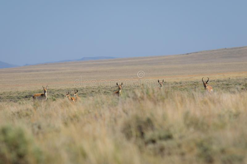 Antelope in the desert royalty free stock photos