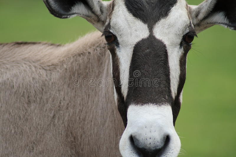 Antelope Portrait royalty free stock photos