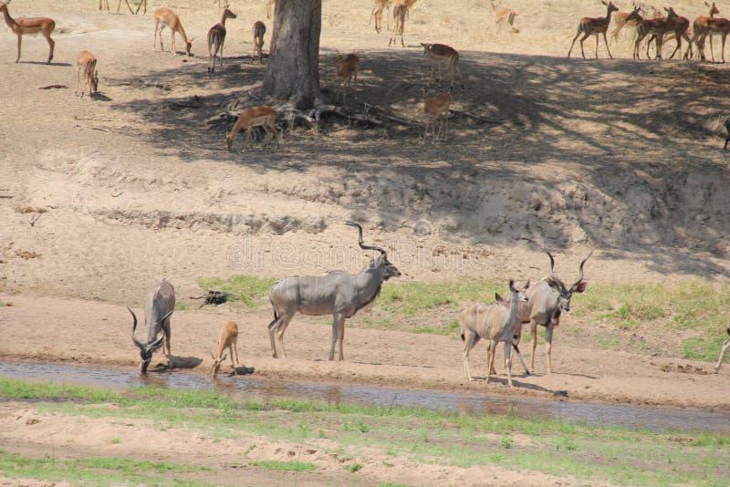 Antelope at ruaha national park day time. stock photos