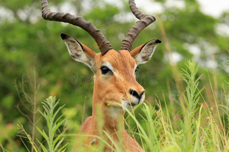 Antelope in safari park in South Africa. Cute antelope relaxing in the grass in safari park in South Africa royalty free stock photo