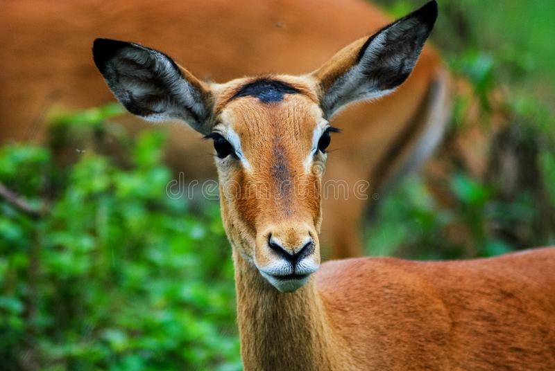 Antelope looking at the camera stock image