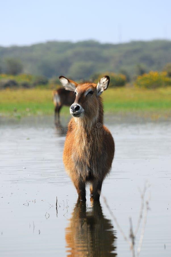 An antelope Waterbuck in the water
