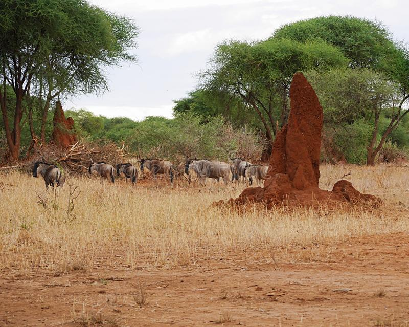 Antelope wildebeest close-u on Tarangiri safari - Ngorongoro royalty free stock photography