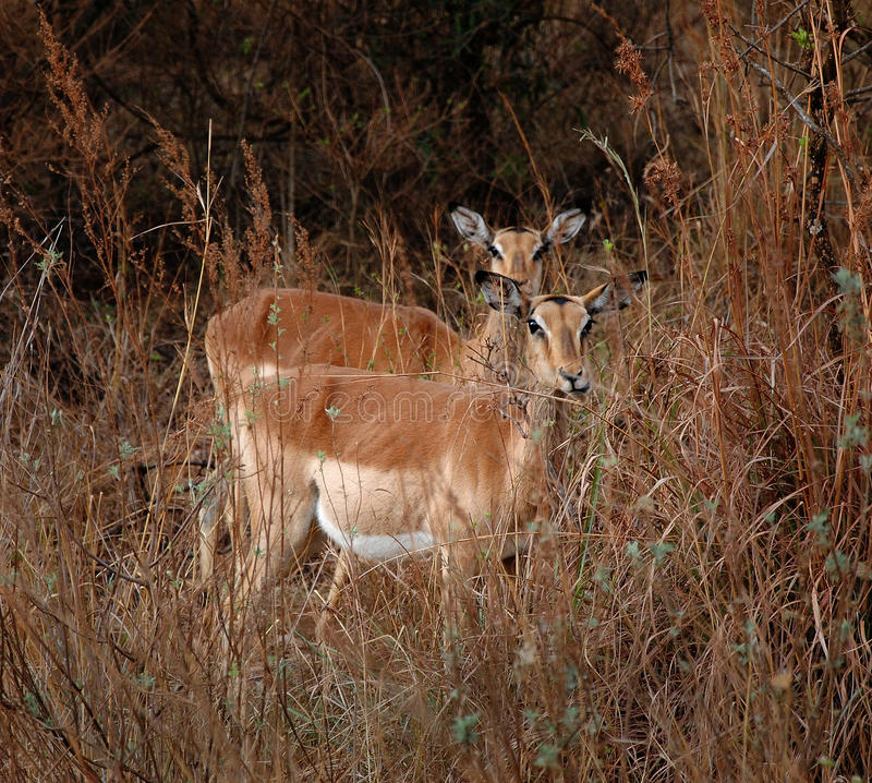 Download Antelopes stock image. Image of together, four, antelopes - 28619467