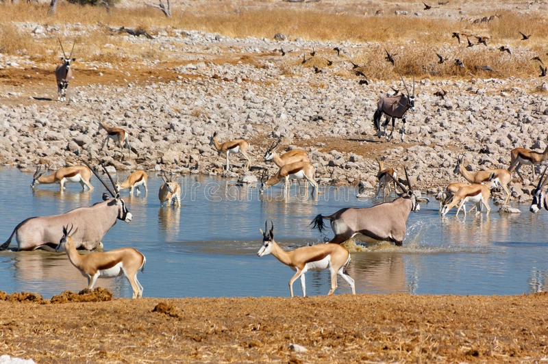 Antelopes drinking from waterhole. African nature and wildlife reserve, Etosha, Namibia stock photo