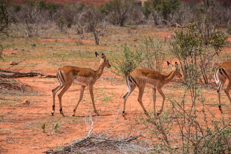 Antelopes seen in Ngutuni Park. Kenya safari. African adventure stock image