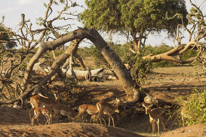 Antelopes in the wilderness at the Tsavo East National Park royalty free stock photos