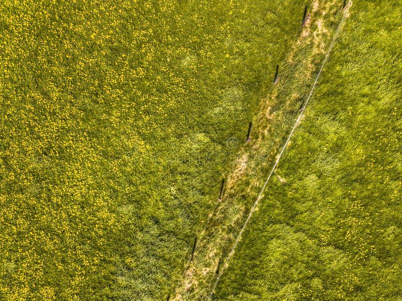 Antena del prado de la flor del ranúnculo foto de archivo
