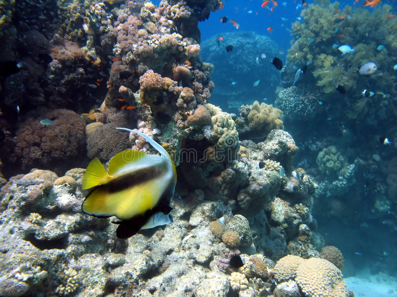 Antenna Butterflyfish stock image