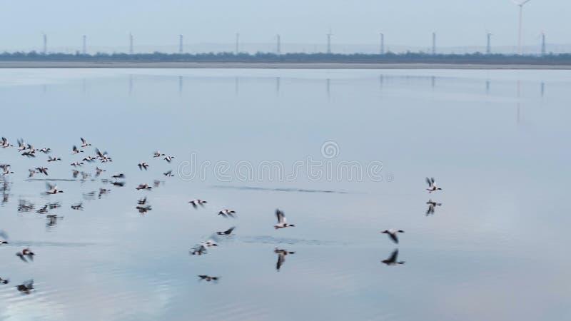 Antenna per le anatre selvatiche volanti sopra il lago sul fondo del cielo blu colpo Bello stormo degli uccelli in ascesa sopra immagini stock
