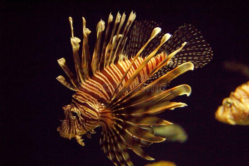 antennata użebrowany firefish lionfish pterois obszarpujący zdjęcia stock
