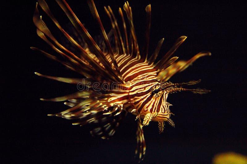 antennata użebrowany firefish lionfish pterois obszarpujący obrazy royalty free