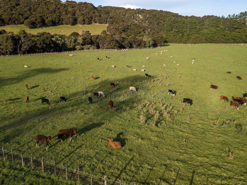 Antenne, de Koeien van Nieuw Zeeland en Schapen bij Zonsondergang royalty-vrije stock afbeeldingen