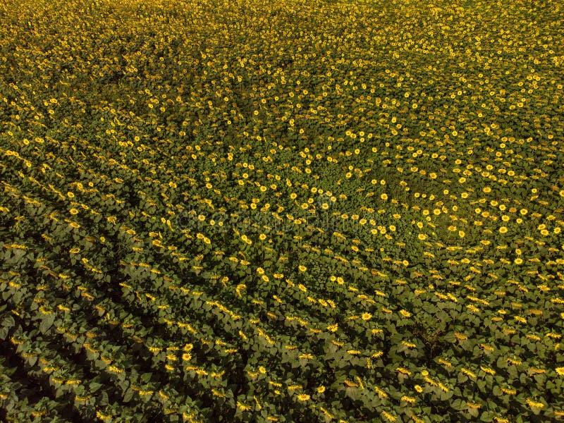 Anteny pole słoneczniki w lato zmierzchu świetle doskonalić dla bi fotografia stock