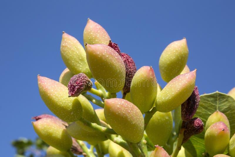 Antep pistacja na gałąź, Gaziantep, Turcja zdjęcia stock