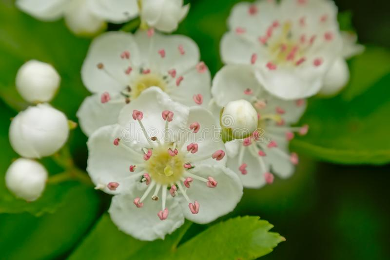 Anteras brancas do rosa da flor do prunus da mola e coração amarelo imagens de stock royalty free