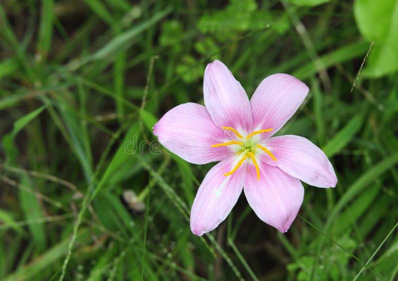 Antere di galleggiamento di un giglio rosa della pioggia fotografia stock libera da diritti