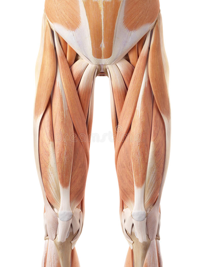 The anterior leg muscles. Medically accurate illustration of the anterior leg muscles royalty free illustration