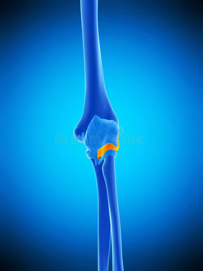 The anterior radiocollateral ligament. Medically accurate illustration of the anterior radiocollateral ligament stock illustration