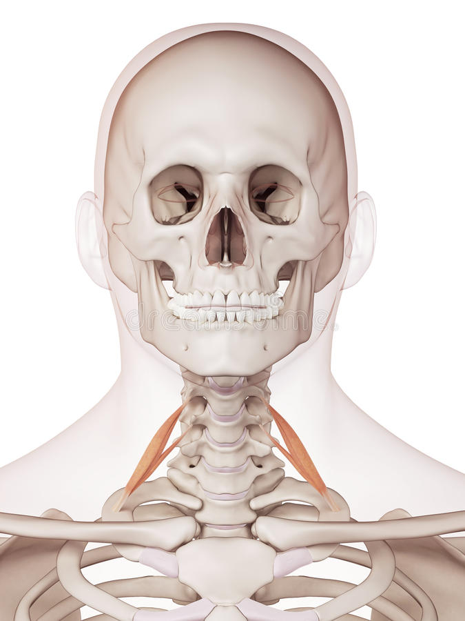 The anterior scalene. Medically accurate muscle illustration of the anterior scalene stock illustration