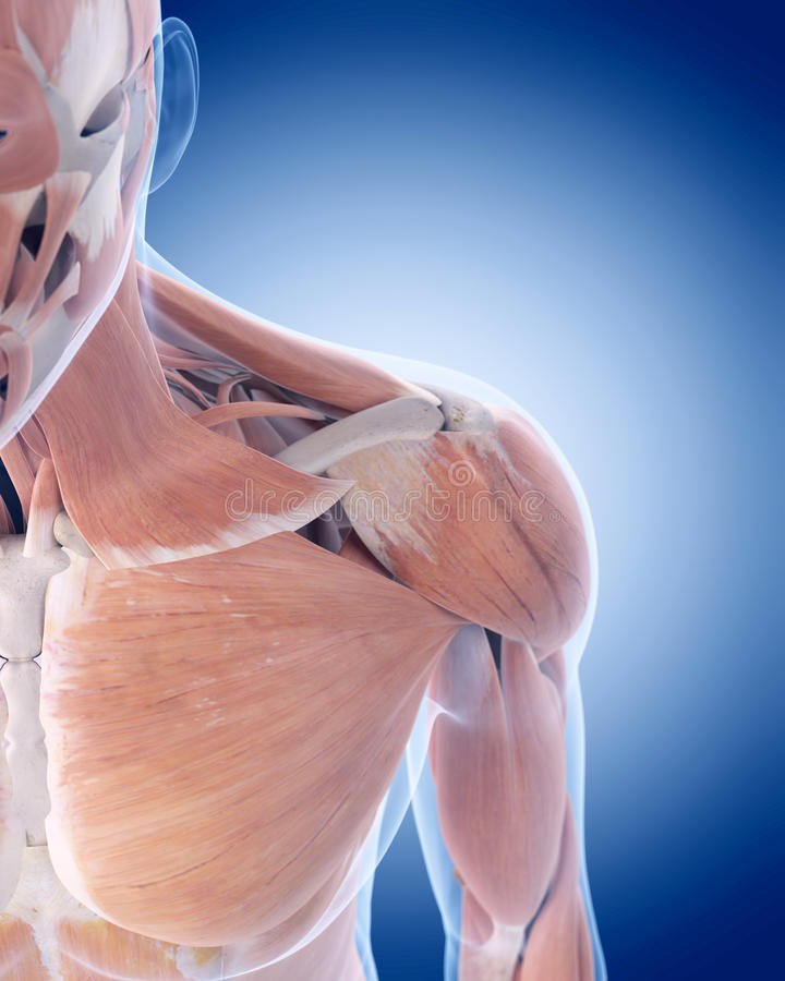 The anterior shoulder muscles stock illustration