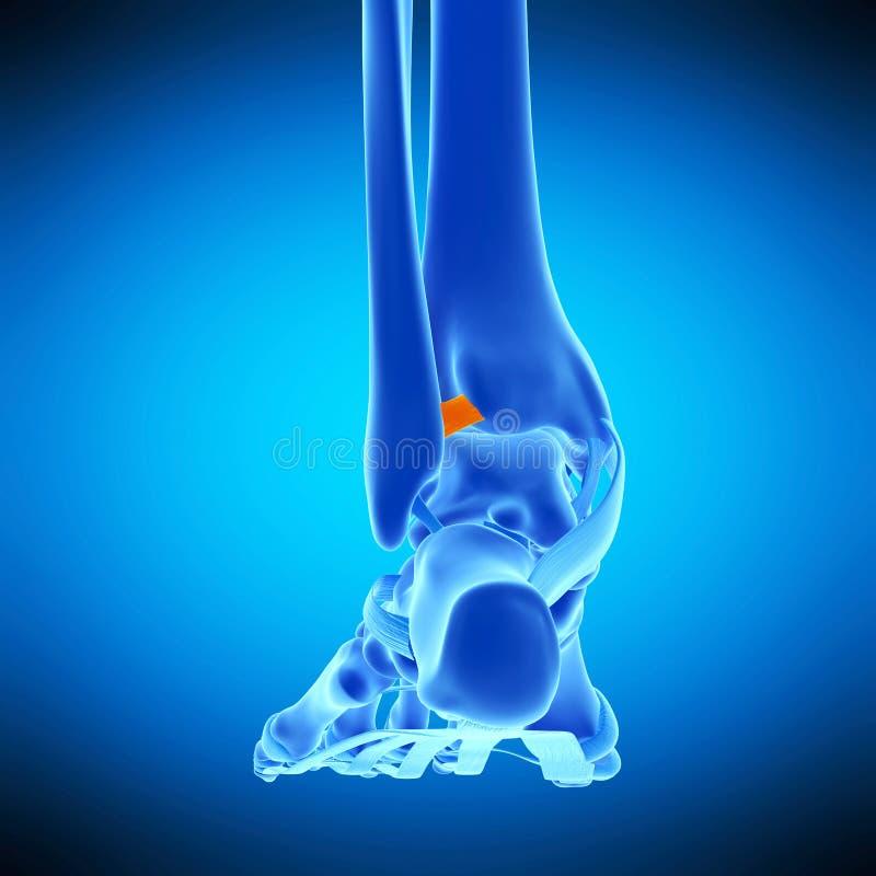 The anterior tibiofibular ligament. Medically accurate illustration of the anterior tibiofibular ligament royalty free illustration