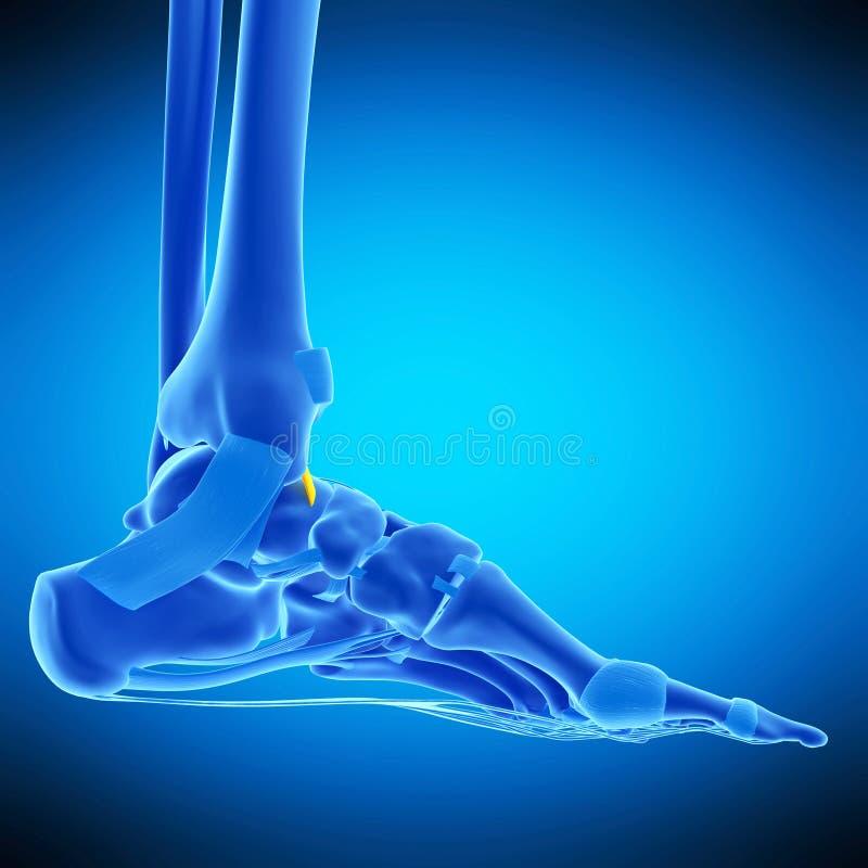 The anterior tibiotalar ligament. Medically accurate illustration of the anterior tibiotalar ligament vector illustration
